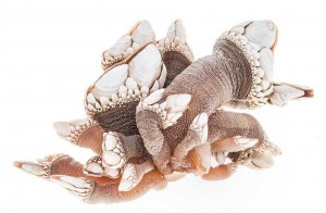 Bizarre: Goose-neck Barnacle (Pollicipenes polymerus) Stalked barnacles that grow in clusters or colonies along exposed shores of the BC Coast) (From the Invertebrate Collection – Royal BC Museum)